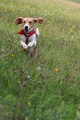 Beagle springt über eine Sommerwiese