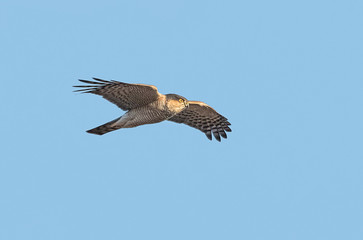 Male Eurasian sparrowhawk (Accipiter nisus) in flight on blue sky background.
