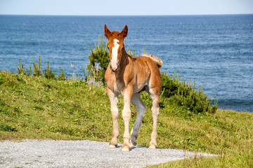 Wild horses of Shimokita Peninsula Japan