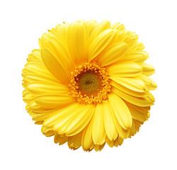 Yellow autumn chrysanthemum isolated on white