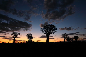 Namibia Quiver tree forest sunset and silhouette