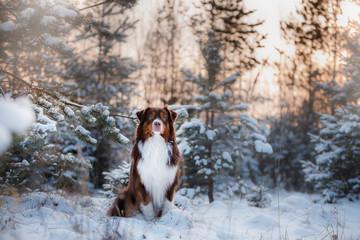 Dog breed Australian Shepherd outdoors in the winter, snow,