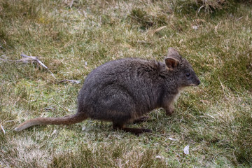 Red bellied wallaby, a small kangaroo, Cradle Mountain NP, Tasmania