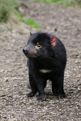 Close up of an Tasmanian devil, Cradle Mountain NP, Tasmania