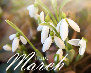 Hello march greeting card, spring background with delicate snowdrops