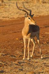 Impala, Madikwe Game Reserve