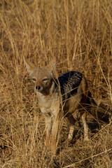 Black-Backed Jackal, Madikwe Game Reserve