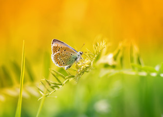 blue butterfly sitting on a blade of grass on a sunlit meadow