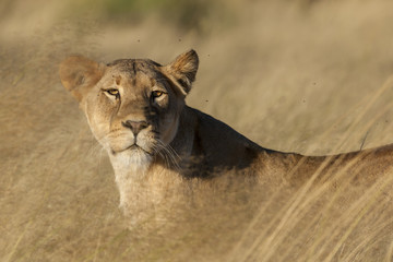Lion (Panthera leo). Kalahari. Northern Cape. South Africa.