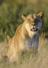 Lion (Panthera leo) adult female and cubs. Kalahari. Northern Cape. South Africa.