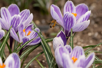 Honeybee flying over the crocuses in the spring on a meadow