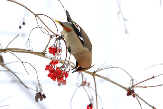 waxwing eating berries with