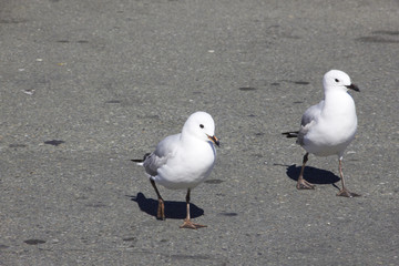 Two black billed gull walking on the beach