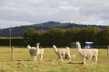 Four alpacas relaxing at the farm