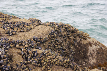 Black mussel on the rock