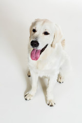 Labrador Retriever on a white background
