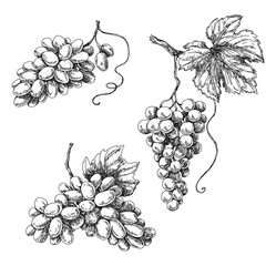 Grape sketch monochrome