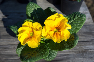 Potted yellow primrose on the wooden table