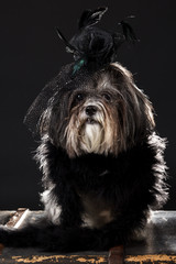 Cute dog dressed with black vintage feathered hat with rose and veil, and fluffy boa
