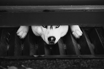 Black and white art photography monochrome, gray and white husky looking into the camera under a fence, sad dog. A pet