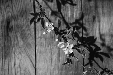 black and white art photography monochrome, cherry blossom against a background of a wooden fence. White spring flowering trees. Space for text.