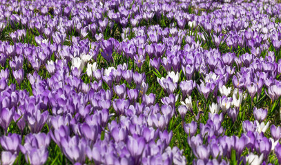 Meadow of purple and white crocus flowers