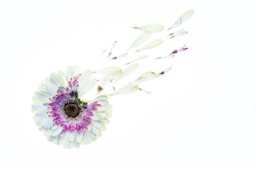 Daisy on White Background with Petals Flying