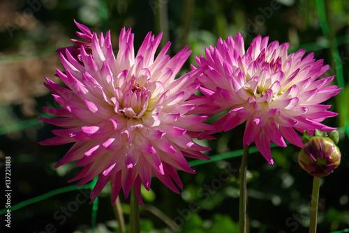 Dahlia Cactus Rose Et Blanc Au Jardin En Ete Stock Photo And