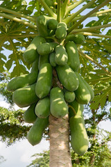 Papaya tree with green unripened fruit. Tropical Papaya tree with hanging bunch of fresh fruits.