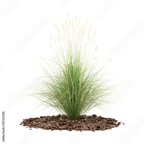 Ornamental grass plant isolated on white background for White ornamental grass