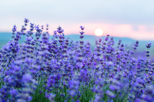Sunset in a lavender field in a Summer