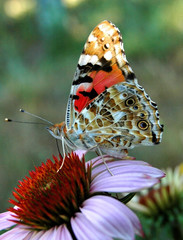 Butterfly on a flower echinacea, flowers drinking nectar
