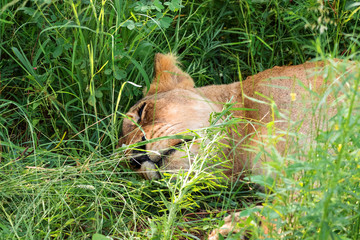 female lion lioness sleeping relaxed in the grass