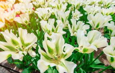 Beautiful white tulips. Tulipa Spring Green. Keukenhof Flower