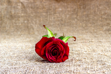 Red rose on burlap, Valentine's Day ! .