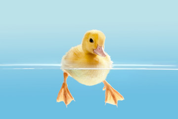 Duckling swimming for the first time Wall mural