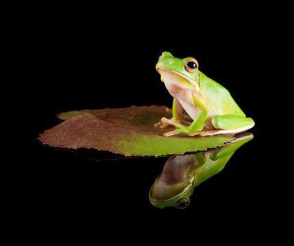 Reflected tree frog on leaf