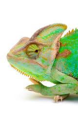 Yemen chameleon muzzle isolated on white background