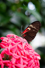 Butterfly with pink wings on a pink flower