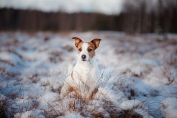 Dog Jack Russell Terrier outdoors in the winter, snow,