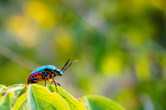 Jewel Bug in the nature