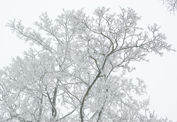 Branches covered by snow on a winter white foggy sky background