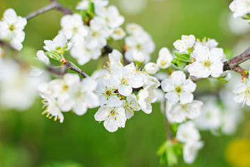 Hoilday of life, cherry blossoms over blurred nature background