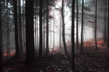 Wall Mural - Magical morning dark red foggy forest tree landscape with sunlight.