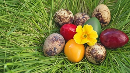 quail eggs dyed raw Easter nest made of grass with a yellow flower primrose composition