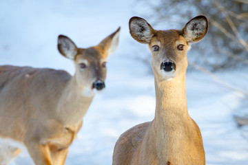 White-tailed Deer (does) in winter.