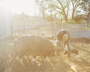 Farmer feeding a pig