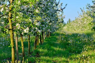 Young apple trees blooming in the spring garden