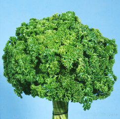 Fresh curly parsley on blue background