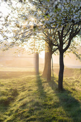 Spring morning misty landscape of tree blossom and dew on green grass